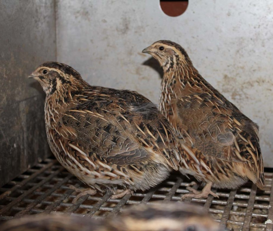 pharaoh quail chicks for sale